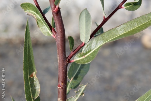 Red Willow, Salix Laevigata, only succeeds in moist conditions. On Mission Creek Preserve, the Colorado and Mojave Deserts intermingle, and these plants grow native along the banks of a watercourse.