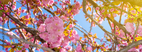 Obraz pink cherry blossom close up. spring has sprung. beautiful panoramic nature background - fototapety do salonu