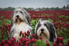 Portrait Of Two Bearded Collie, Who Is Sitting In Crimson Clover.