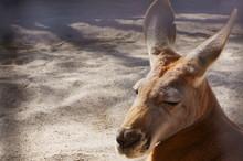 See The Breeding Kangaroo Over...