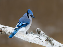 Blue Jay Perched On Birch Snag...