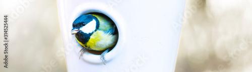 Photographie  Kohlmeise schaut aus dem Vogelhaus mit einem Korn im Schnabel