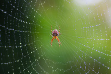 Cross Spider On A Web With Dew Drops