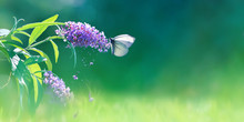 Beautiful Butterfly And Lilac Purple Summer Flowers On A Background Of Green Foliage And Grass In A Fairy Garden. Macro Artistic Background. Copy Space.