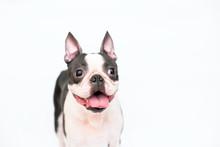 Cheerful Dog Breed Boston Terr...