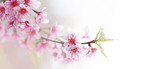 Spring flower bloom nature background, shallow depth of field of wild Himalayan cherry blossom or Sakura pink flowers with young green leaves on forest tree twig.