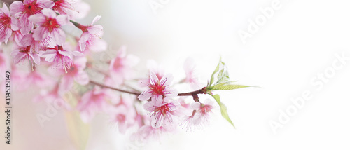 Obraz na plátně Spring flower bloom nature background, shallow depth of field of wild Himalayan cherry blossom or Sakura pink flowers with young green leaves on forest tree twig