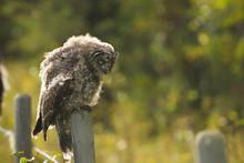 A Juvenile Great Grey Owl Hunt...