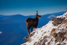 Chamois Wild Goat In Winter Landscape