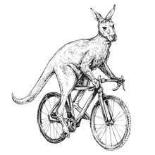 Kangaroo Symbol Of Australia Rides A Bicycle Engraving Style Vector