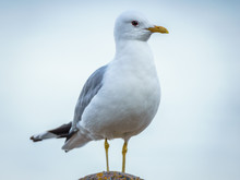 Portrait Of A Common Gull (Lar...