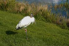 A Wood Stork Sitting Alongside...
