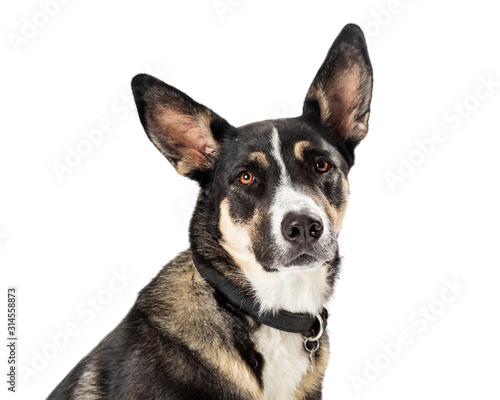 Photo Closeup Shepherd Crossbreed Dog Portrait Isolated