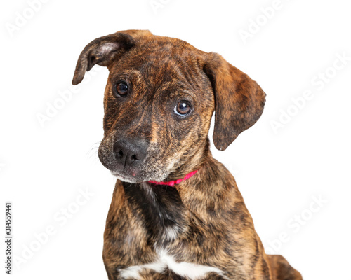 Portrait Cute Brindle Terrier Puppy Dog Fototapete