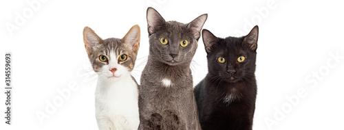 Fototapeta Three Cute Cats White Web Banner obraz