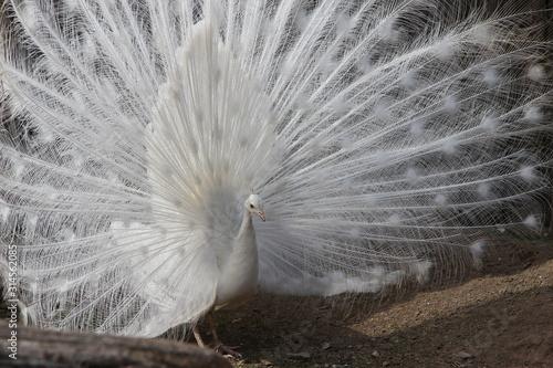 Fényképezés pfau schlägt rad weiß albino