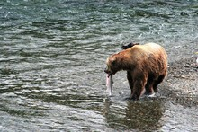 Brown Bear In Water With His Prize Salmon