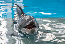 Dolphin Swimming In The Clear ...