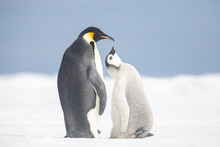 Emperor Penguin Colony Adults ...