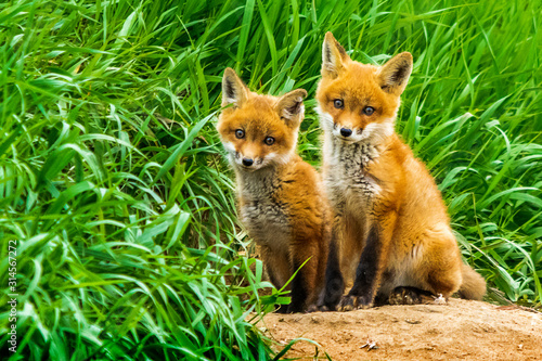 Photo Red Fox Kits
