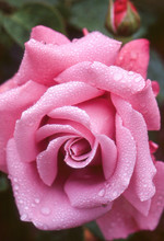 Close Up Of Pink Rose Covered ...