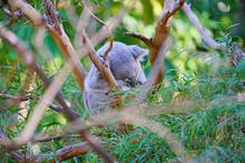 A Koala Sleeping On A Eucalypt...