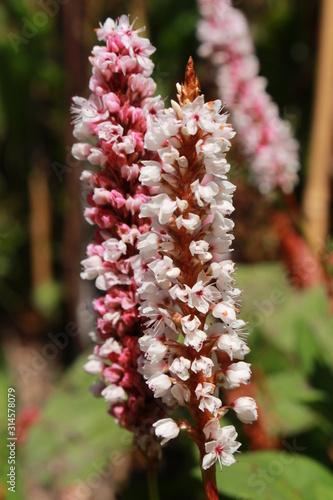 "Photo ""Himalayan Bistort"" flower (or Fleece Flower, Knotweed) in St"