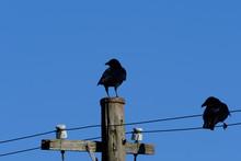 Crow On Utility Pole