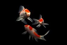 Butterfly Koi Fish Long Tail Isolated On Black .