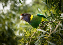 Ringneck Parrot Perched In A Wattle Bush 2