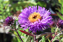 Macro Photo Of A Purple Aster Flower