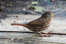 A Picture Of A Fox Sparrow Per...