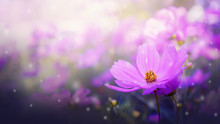 Fresh Pink Cosmos Flowers In G...