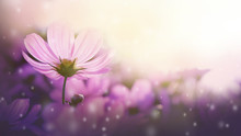 Fresh Purple Cosmos Flowers Bl...