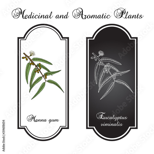 Manna, or ribbon, or white gum Eucalyptus viminalis , medicinal plant Canvas Print