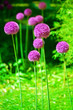 canvas print picture - Allium cristophii or giganteum, ornamental garden plant, big round violet flowers blossom on green blurred background close up, dandelion balls in bloom, decorative persian onion, purple chives flower