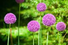 Allium Cristophii Or Giganteum...