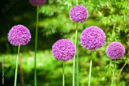 Allium cristophii or giganteum, ornamental garden plant, big round violet flower Wallpaper Mural