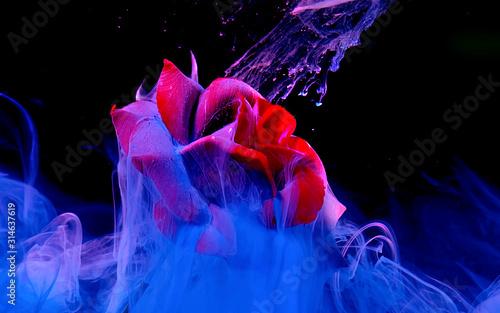 Piękna czerwona róża na fantastycznym niebieskim tle.