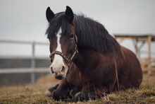 Portrait Of Old Mare Horse In ...