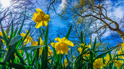 Easter background with fresh spring flowers. Yellow narcissuses against the blue sky