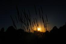 Silhouette Of Timothy Grass Li...