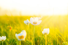 Spring And Summer Wallpaper With Green Grass And Small White Flowers
