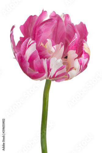 Photo tulip flower isolated