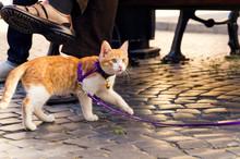 Cute Red Kitten On A Leash