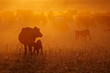 canvas print picture - Free-range cattle, including cows and calves, feeding on dusty field at sunset, South Africa.