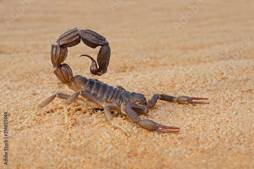Fotografia Granulated thick-tailed scorpion (Parabuthus granulatus), Kalahari desert, South Africa