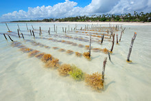 Seaweed Farming In The Clear C...
