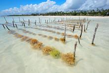 Seaweed Farming In The Clear Coastal Waters Of Zanzibar Island.
