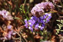 Purple Wild Growing Statice Flowers